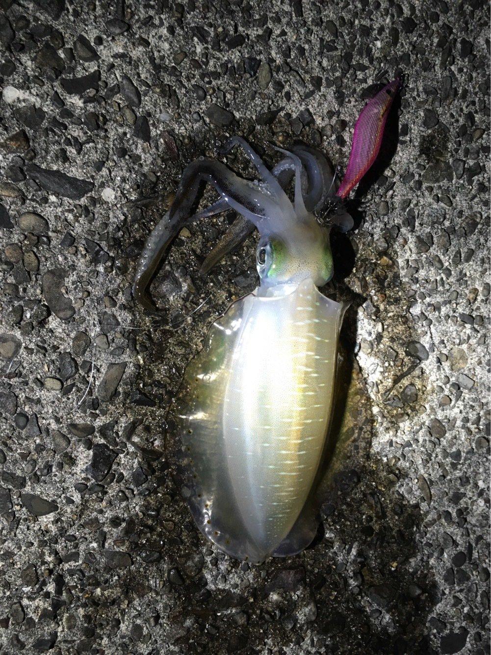 オキさんの投稿画像,写っている魚はアオリイカ