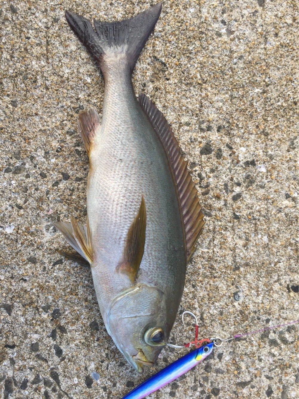 AritAさんの投稿画像,写っている魚はイサキ