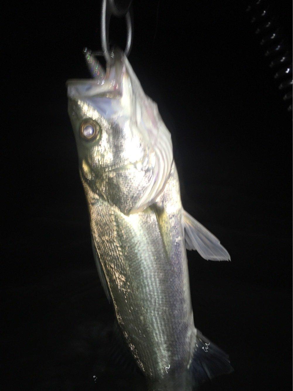 コゥイさんの投稿画像,写っている魚はマルソウダ