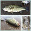 さよ*ˊᵕˋ)੭さんの茨城県かすみがうら市での釣果写真