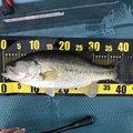 タラさんの滋賀県草津市での釣果写真