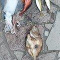 トモチLOWさんの熊本県天草郡での釣果写真