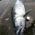 onirokuさんの北海道寿都郡での釣果写真