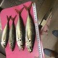 セントルさんの新潟県村上市での釣果写真
