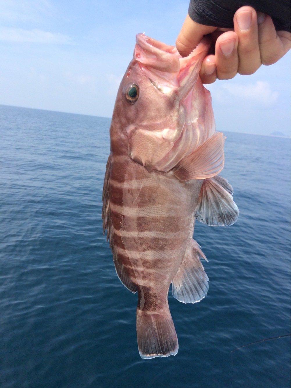 お侍さんの投稿画像,写っている魚はマハタ