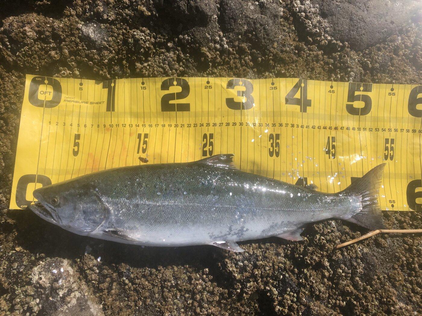 シーアツさんの投稿画像,写っている魚はサクラマス