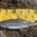 シーアツさんの北海道寿都郡での釣果写真