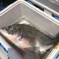 アラキさんの鹿児島県出水郡での釣果写真