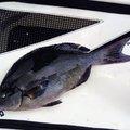 サンコさんの長崎県五島市での釣果写真