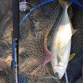 しんさんさんの山口県萩市での釣果写真