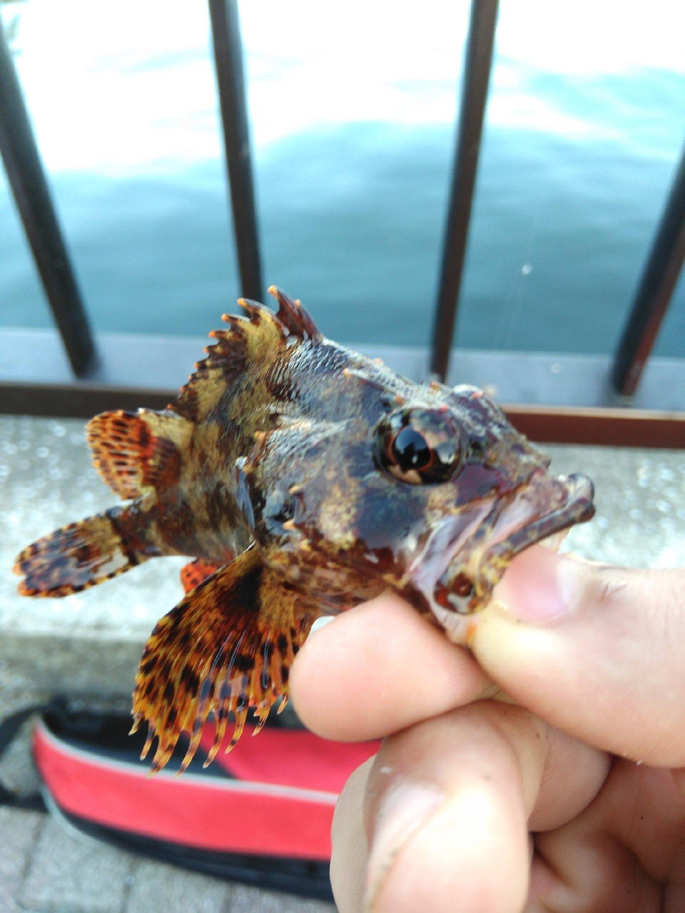Rumakiriさんの投稿画像,写っている魚はカサゴ