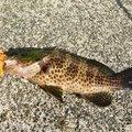 つねたかさんの三重県北牟婁郡での釣果写真
