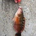 RioReoさんのアカササノハベラの釣果写真