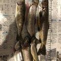 高氏さんの福井県吉田郡での釣果写真