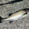 鮎川魚伸さんの三重県鈴鹿市での釣果写真
