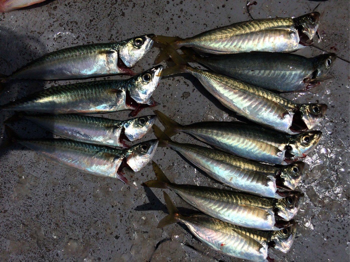 お侍さんの投稿画像,写っている魚はマサバ