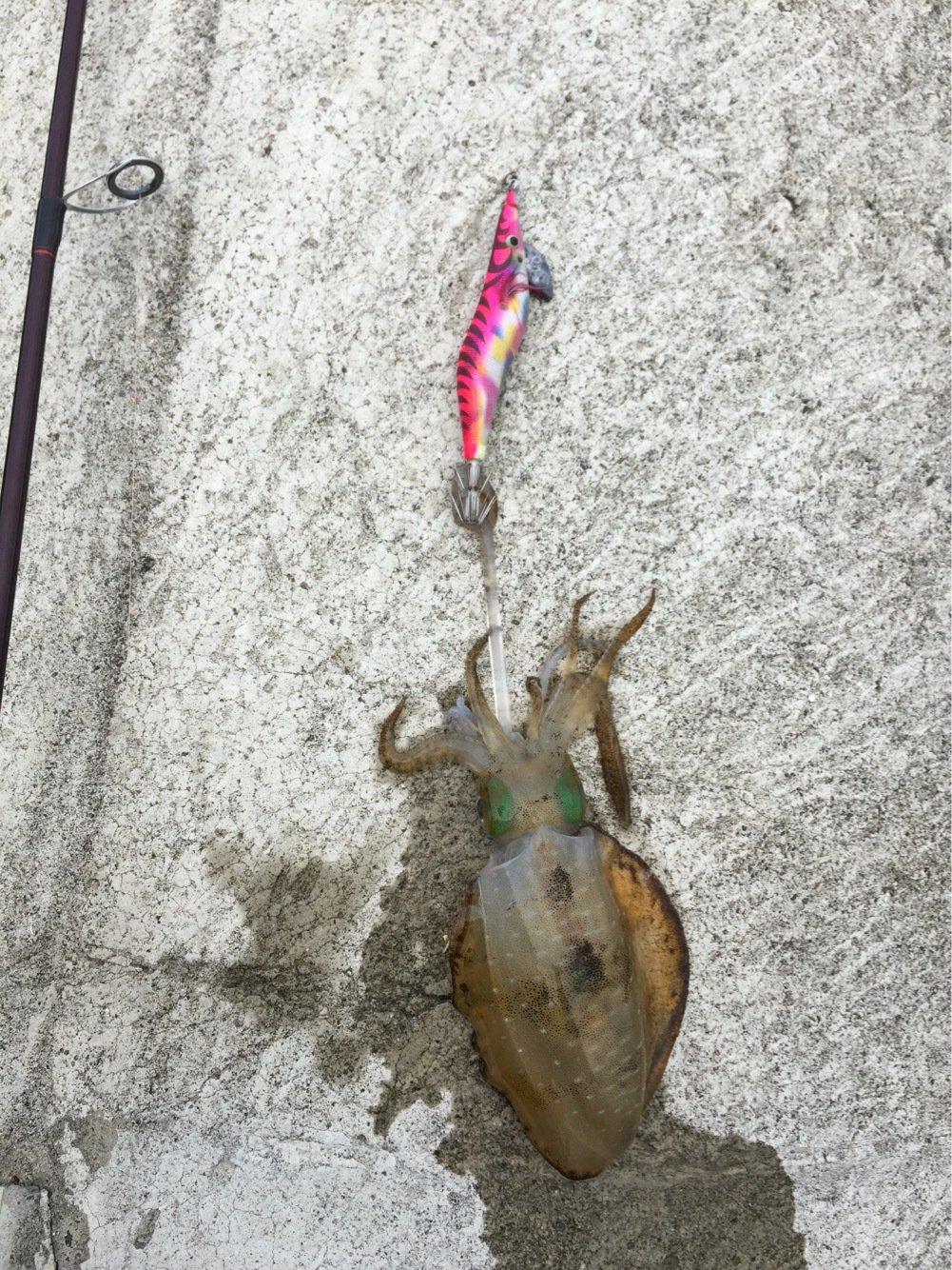 でーずさんの投稿画像,写っている魚はアオリイカ