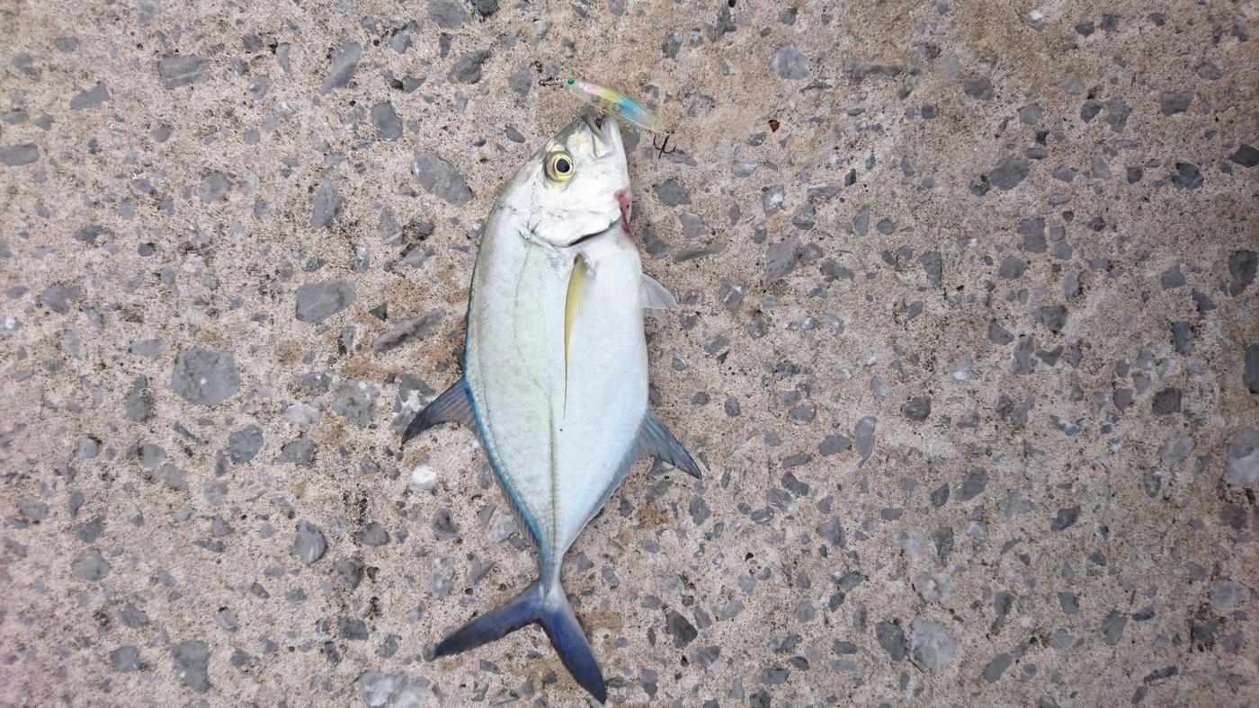 ソラさんの投稿画像,写っている魚はカスミアジ
