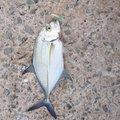 ソラさんのカスミアジの釣果写真