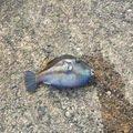 tkさんの三重県志摩市でのキタマクラの釣果写真