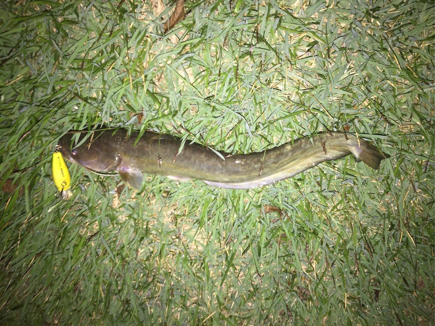 イトさんの投稿画像,写っている魚はナマズ