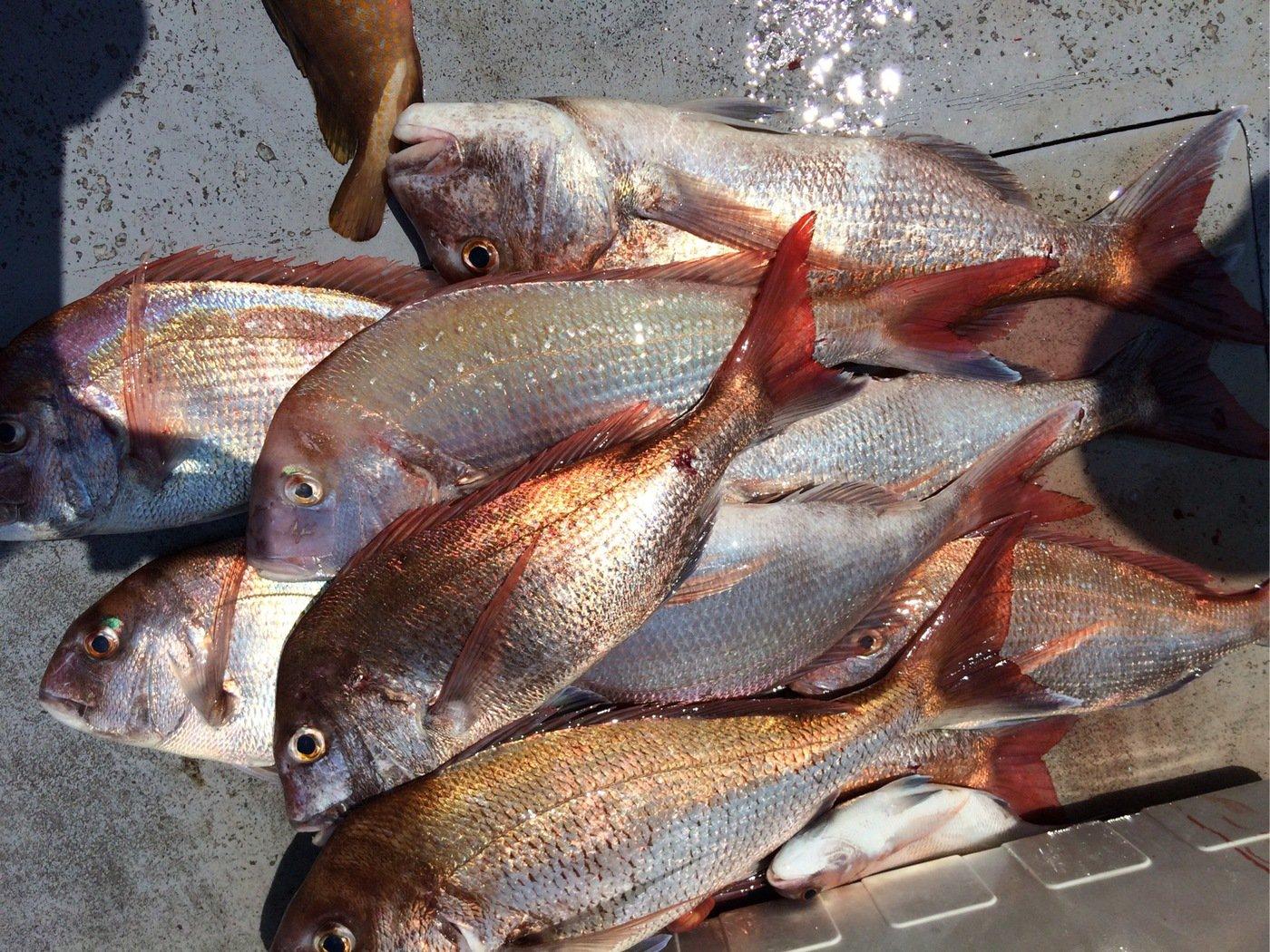 お侍さんの投稿画像,写っている魚はマダイ