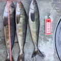 kathuさんの北海道松前郡での釣果写真