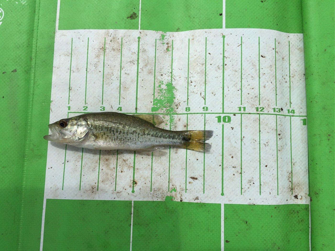 にゃんてぃ〜さんの投稿画像,写っている魚はブラックバス