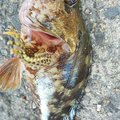 ゆうさんの長崎県西海市での釣果写真