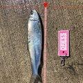 海花パパさんの北海道苫小牧市での釣果写真