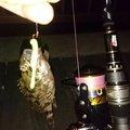 masaさんの愛知県碧南市でのカサゴの釣果写真