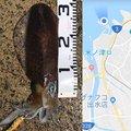 じゅんさんの鹿児島県出水市での釣果写真
