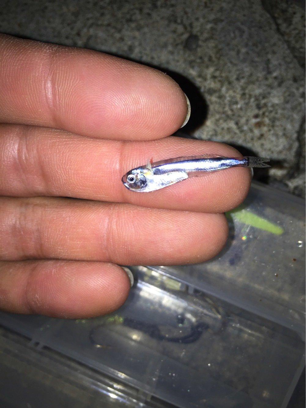 たかさんの投稿画像,写っている魚はアオリイカ