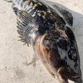 はんたまるさんの宮城県牡鹿郡でのアイナメの釣果写真