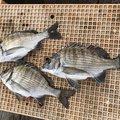 のせさんの三重県志摩市での釣果写真