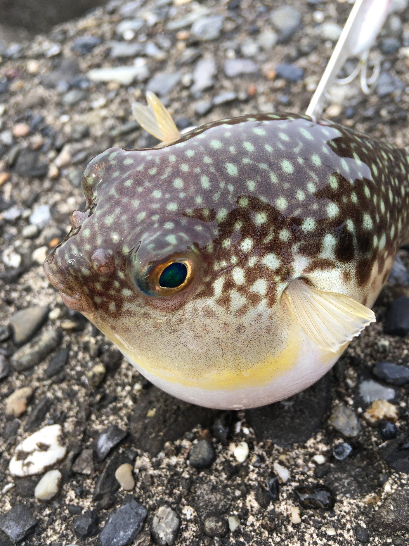 大和魂.さんの投稿画像,写っている魚はフグ