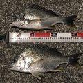 ゆんシンさんの高知県高知市での釣果写真