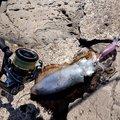mitiさんの高知県須崎市でのアオリイカの釣果写真