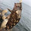 ヨシキさんの愛知県碧南市でのカサゴの釣果写真