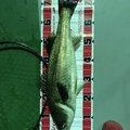ラテス81さんの山口県岩国市での釣果写真