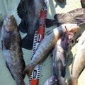 康丸さんの岩手県釜石市での釣果写真