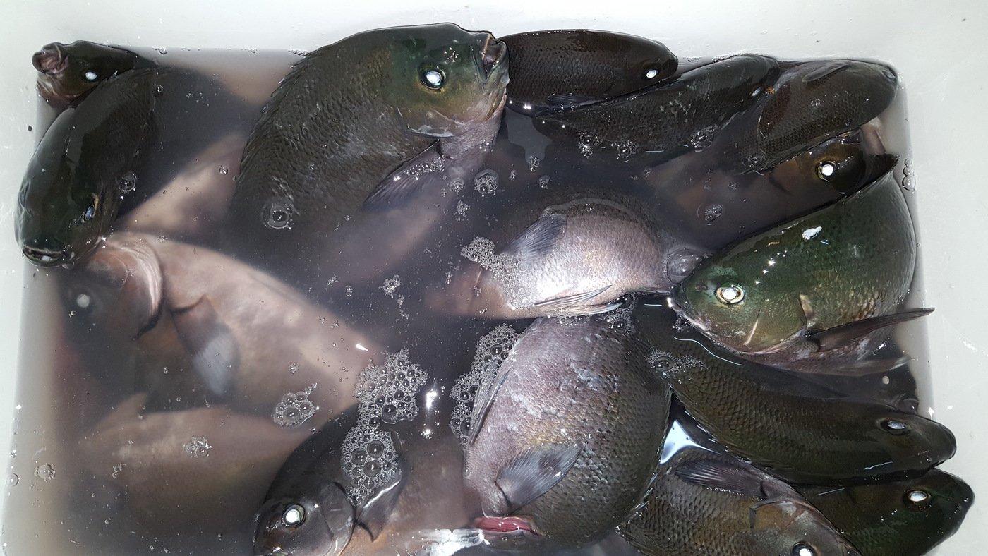 釣りキチみずき🐳🐠🐡🐙🐟🐬さんの投稿画像,写っている魚はクロメジナ