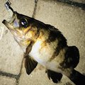白帯アングラーさんの神奈川県横浜市でのメバルの釣果写真