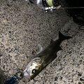 luckyさんの三重県鈴鹿市での釣果写真