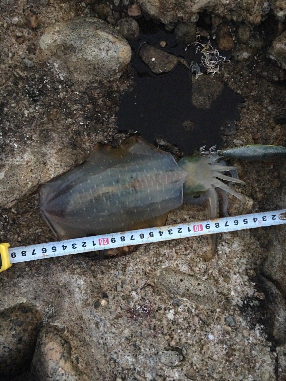 やまさんの投稿画像,写っている魚はアオリイカ
