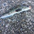 USSD20さんの新潟県村上市での釣果写真