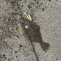 jiburi.fさんの鹿児島県日置市でのヒラメの釣果写真