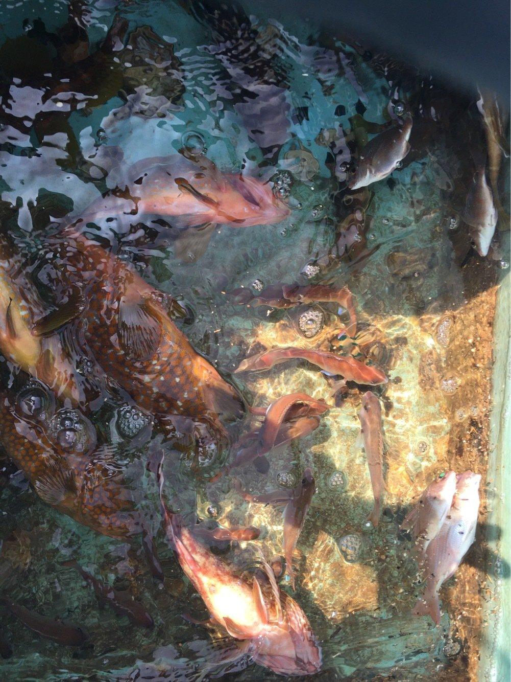 ボタヤマさんの投稿画像,写っている魚はアコウダイ