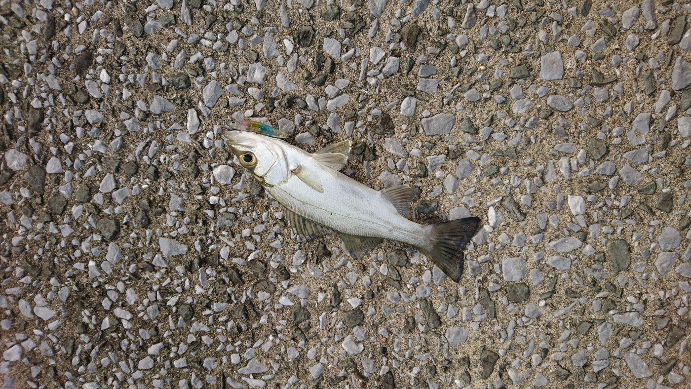 ソラさんの投稿画像,写っている魚はヒラスズキ