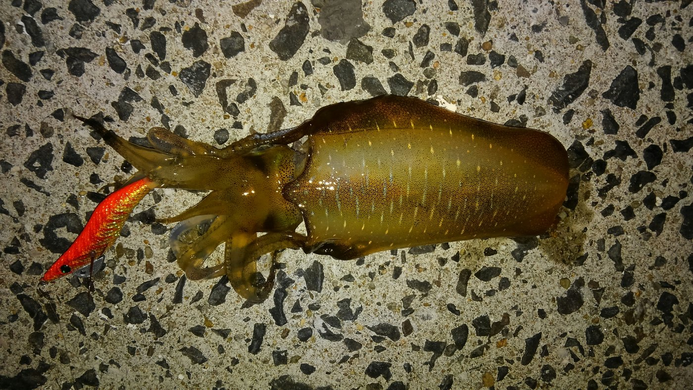 平野 健太さんの投稿画像,写っている魚はアオリイカ